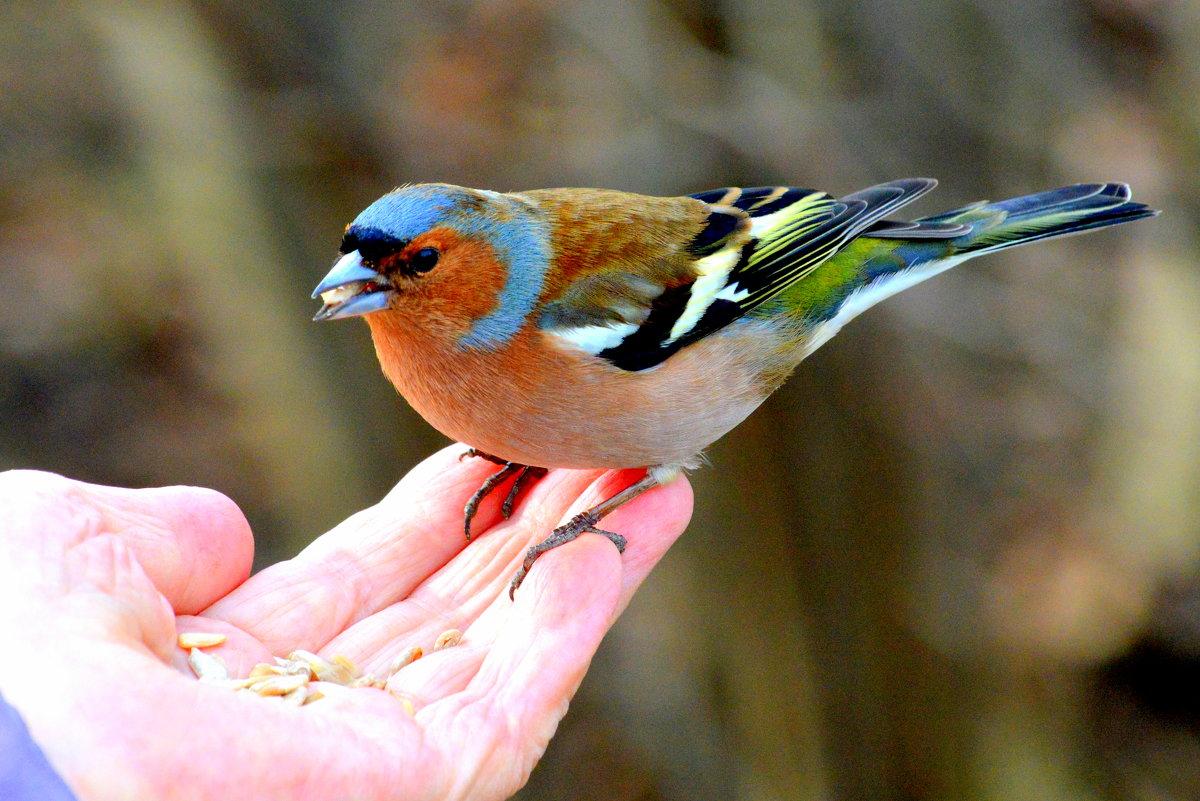 Картинки птички зяблика