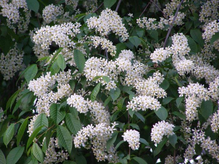 Отвисших грудей белая черемуха за окном цветет голые