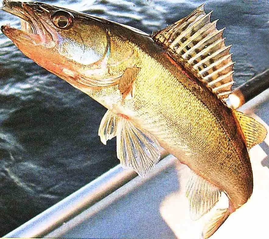Судак картинки фото рыба