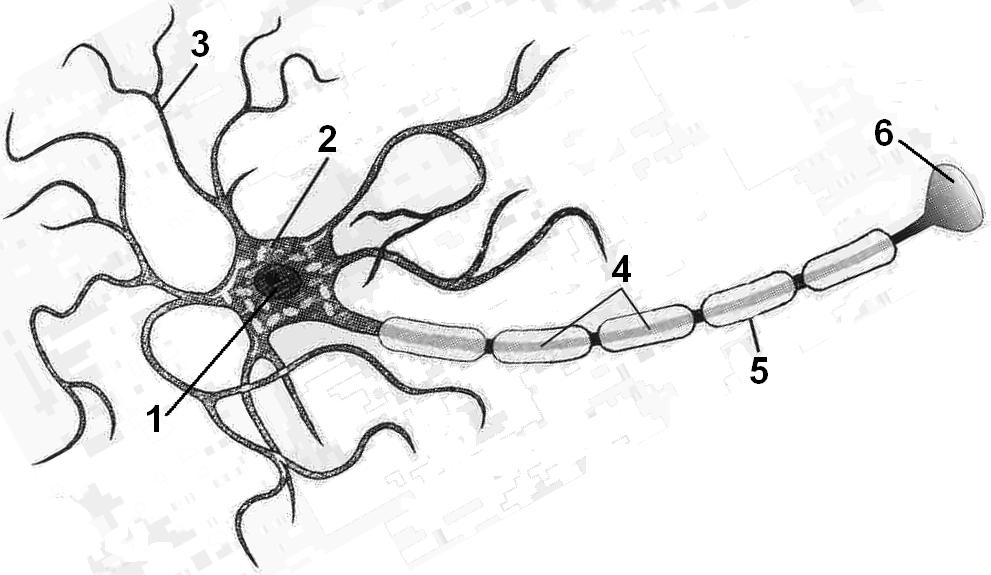 картинка нейрона с обозначениями довольны своей
