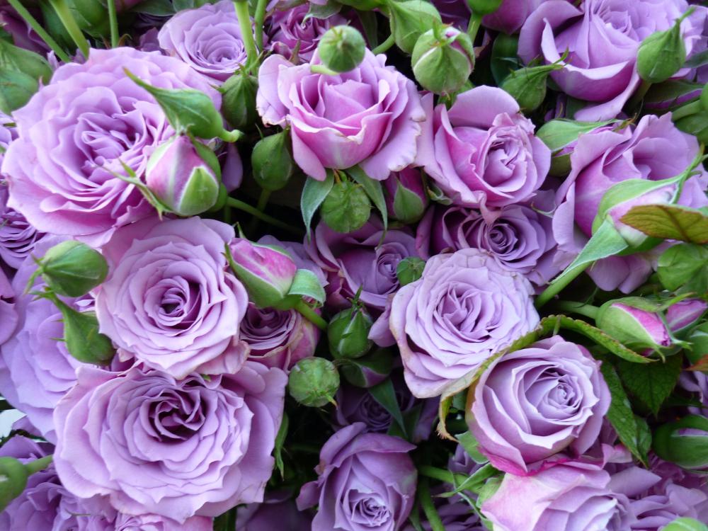 Сиреневые розы картинки, сотруднику увольнением