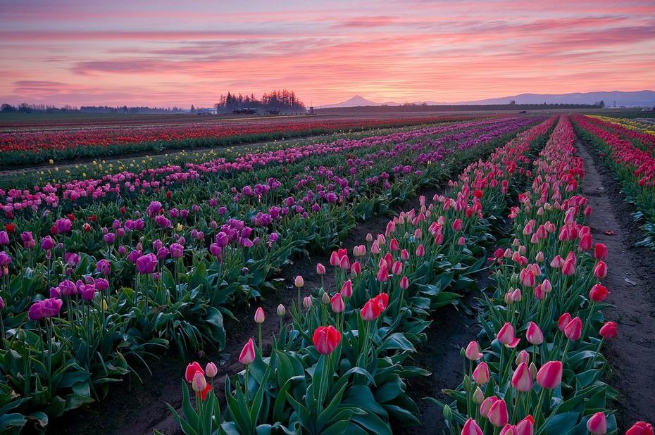 Картинки голландия тюльпаны, открытки