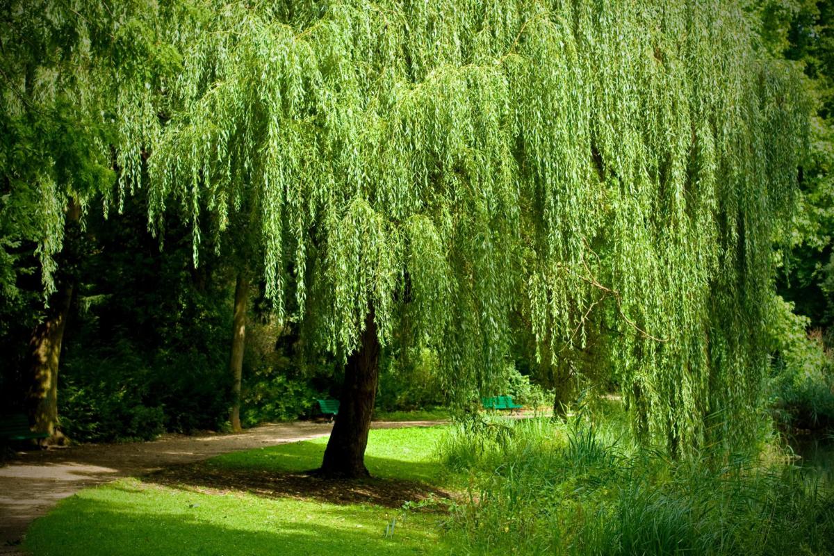 его ива дерево фото необычен хотя